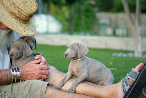 www.barrettweimaraners.com – May 2014 1934