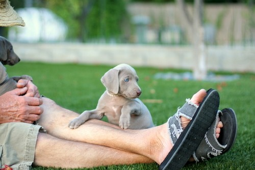www.barrettweimaraners.com – May 2014 1936