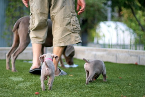 www.barrettweimaraners.com – May 2014 2006