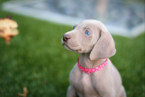 www.barrettweimaraners.com – May 2014 2025