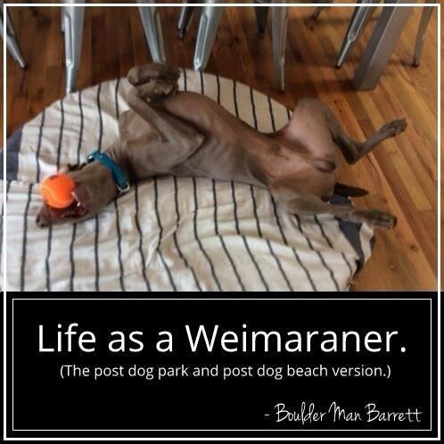 Life as a Weimaraner