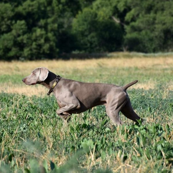 The Difference Between a Pet, Show, Field Trial, and Dual Champion Weimaraner