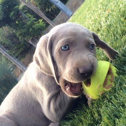 Barrett University: Your Weimaraner Puppy between Nine Weeks and Twelve Weeks