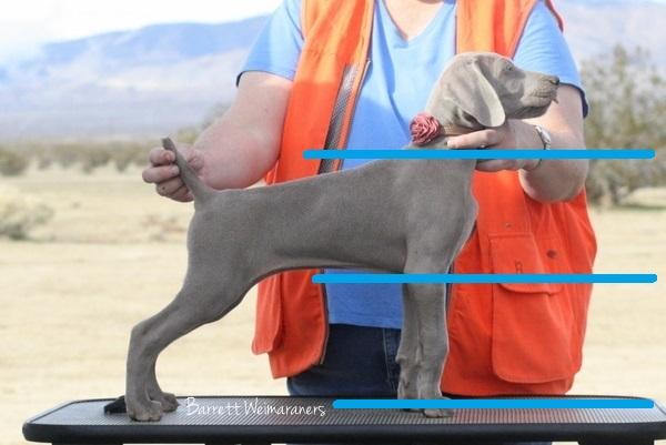 www.barrettweimaraners.com - Ellie as a Puppy - Model - Length of Foreleg