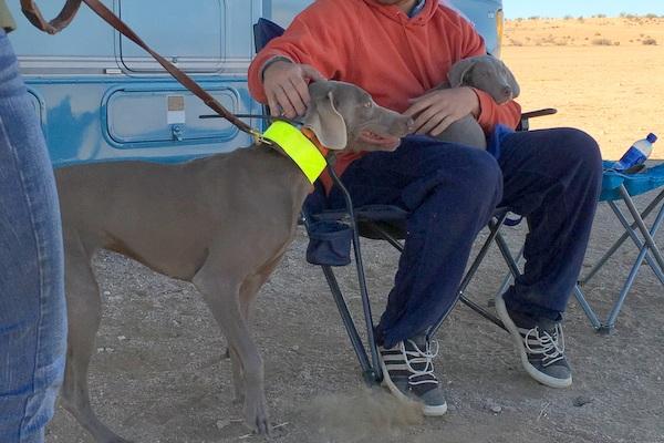 www.barrettweimaraners.com - San Diego Brittany Walking Field Trial - 2015 - IMG_3989