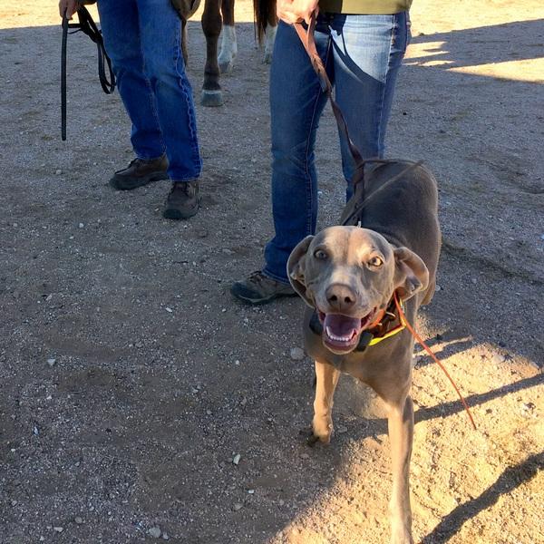 www.barrettweimaraners.com - San Diego Brittany Walking Field Trial - 2015 - IMG_4013