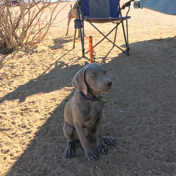 www.barrettweimaraners.com - San Diego Brittany Walking Field Trial - 2015 - IMG_4028