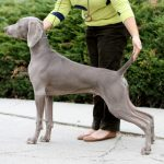 www.barrettweimaraners.com-Conformation-Evaluation-Jasper-Square
