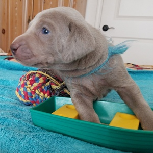 Boulder x Lenka Puppies: The First Month