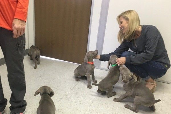 www.barrettweimaraners.com 2017-06-23 Puppies Visit Dr. Kathy Wentworth 04