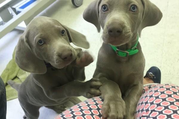 www.barrettweimaraners.com 2017-06-23 Puppies Visit Dr. Kathy Wentworth 22