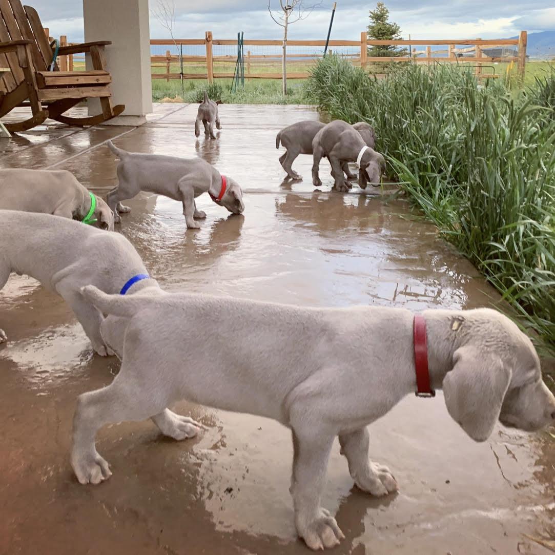 www.barrettweimaraners.com – 2019-05-27 – Gracie and Mango Puppies-02