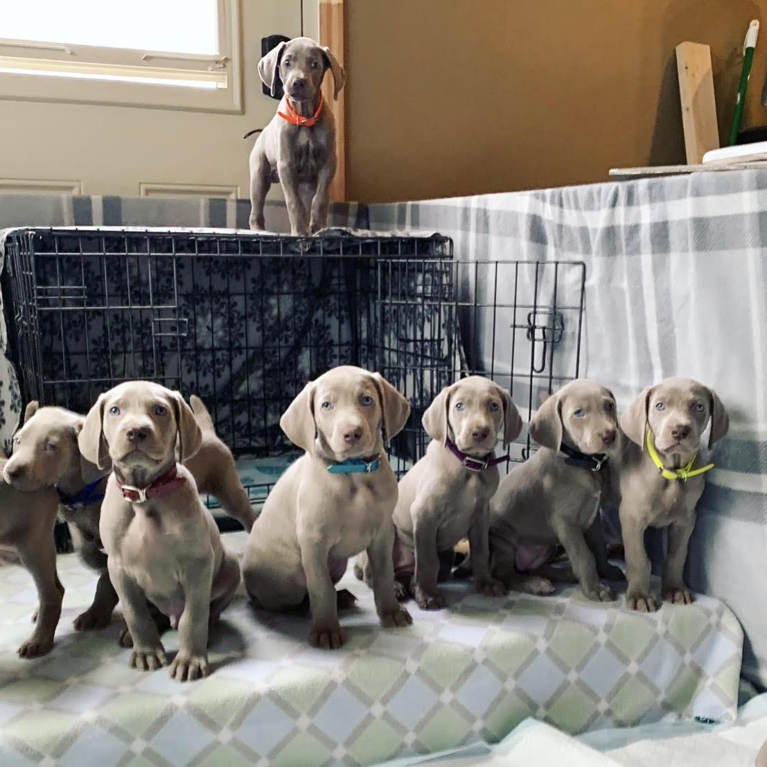 www.barrettweimaraners.com – 2019-05-27 – Gracie and Mango Puppies