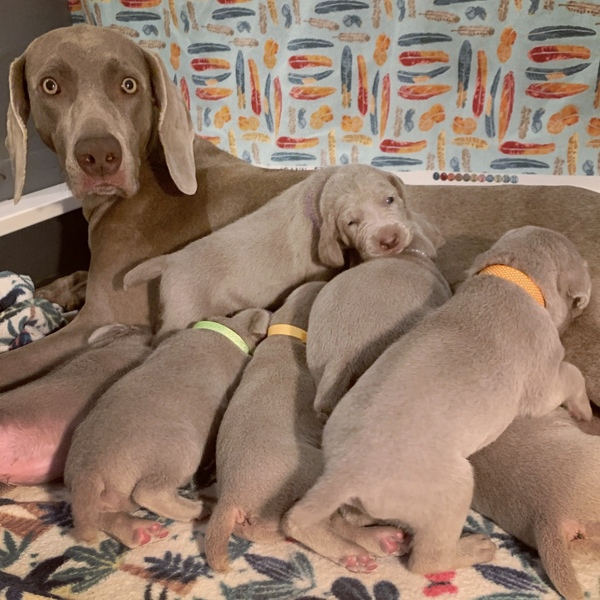 www.barrettweimaraners.com – Blaise x Mango – Day 16 – Puppies