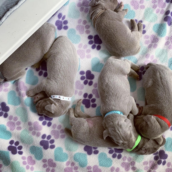 www.barrettweimaraners.com – Blaise x Tennessee – Day 9 – Puppies