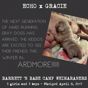 Base Camp Weimaraners Announces the Arrival of the Spring 2019 Echo x Gracie Litter