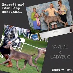 www.barrettweimaraners.com – Swede x LadyBug Litter Announcement