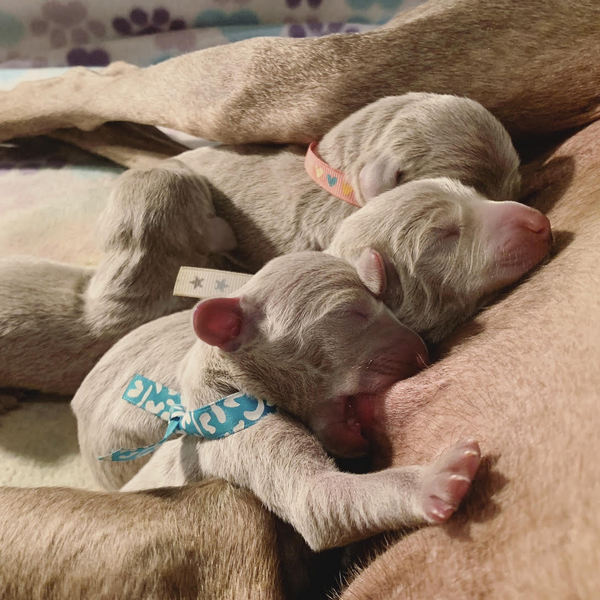 www.barrettweimaraners.com – 2019-07-30 – 04.14AM – Bliss Litter