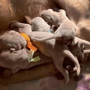www.barrettweimaraners.com – 2019-07 – Bliss Litter – Week One 01