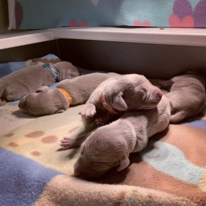 www.barrettweimaraners.com – 2019-07 – Bliss Litter – Week One 02