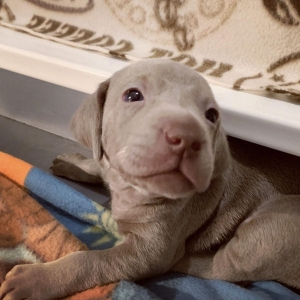 www.barrettweimaraners.com – 2019-07 – Bliss Litter – Week Three 02