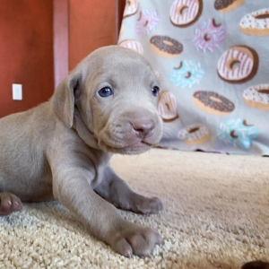 www.barrettweimaraners.com – 2019-07 – Bliss Litter – Week Three 06