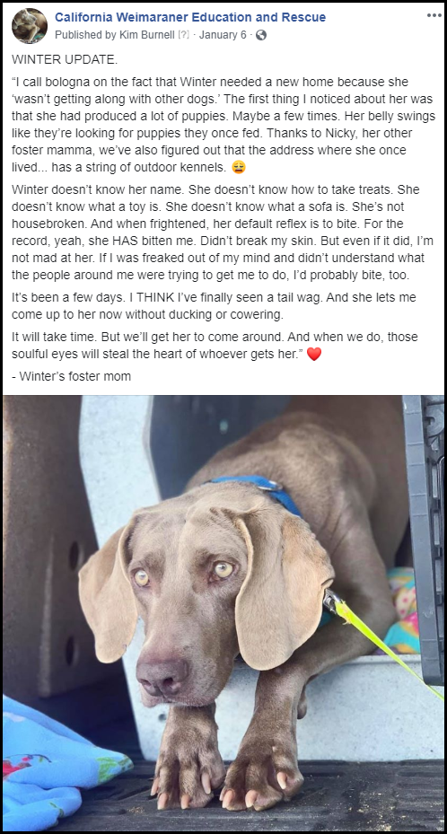 www.CalWEAR.org_2020-01_Winter_Fostered-by-Barrett-Weimaraners_00
