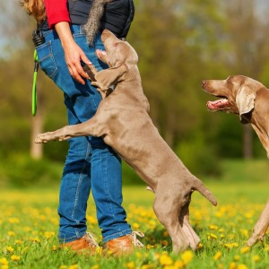 Stop Your Weimaraner From Jumping