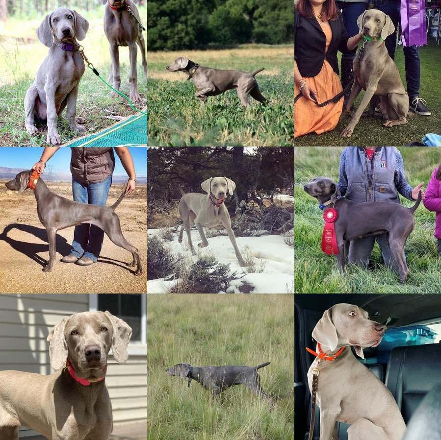 Weimaraner Coat Colors