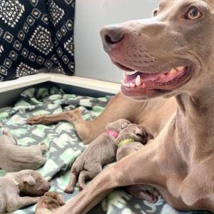 www.barrettweimaraners.com_Boulder-Stella-Puppies_2020-08-14_Day-04_02