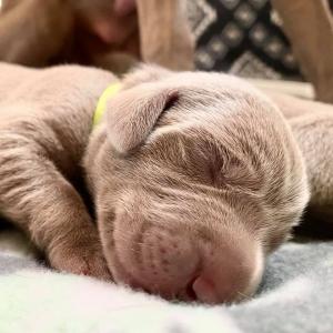 www.barrettweimaraners.com_Boulder-Stella-Puppies_2020-08-14_Day-04_04