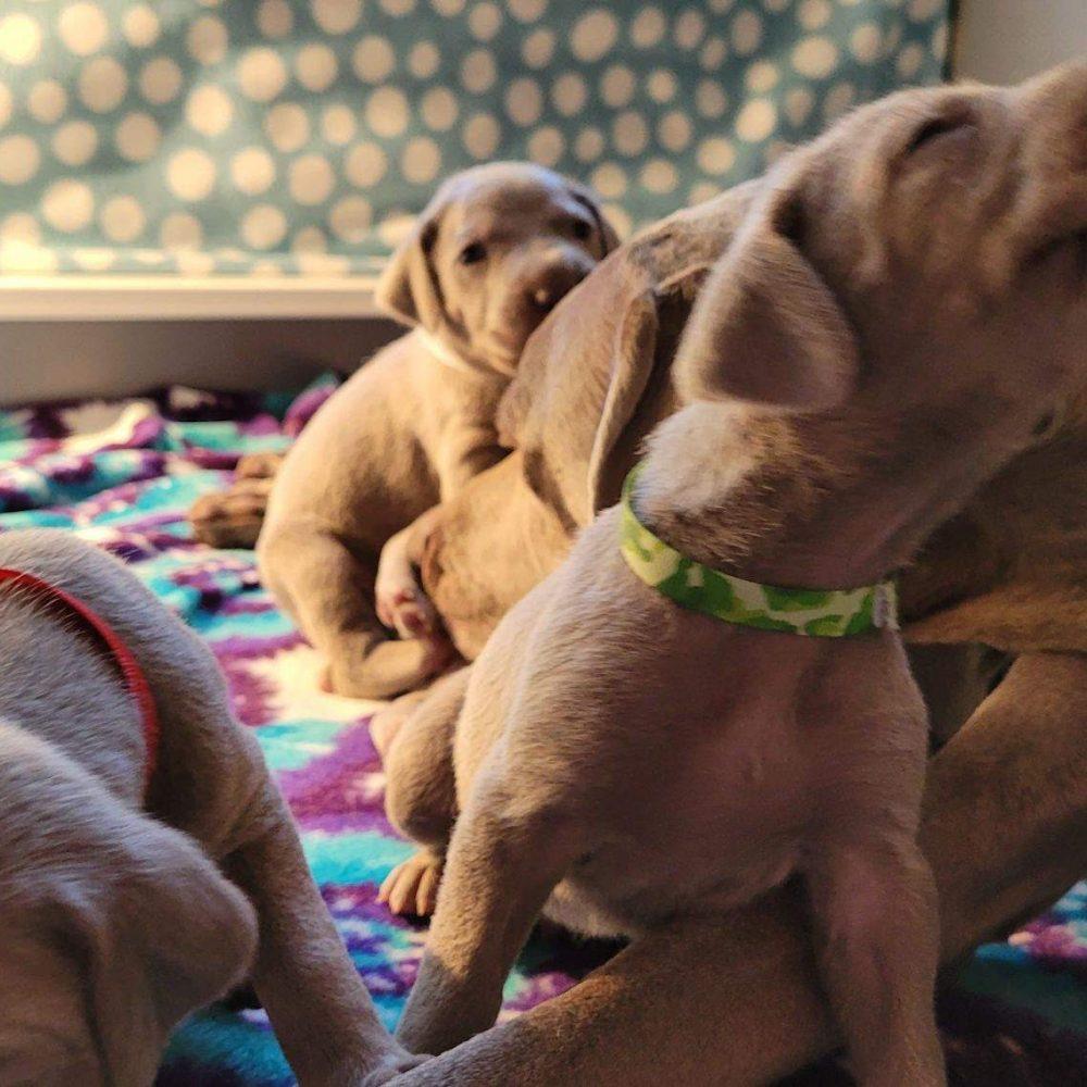 www.barrettweimaraners.com_Kirby-Mattie_2020-12-01_02
