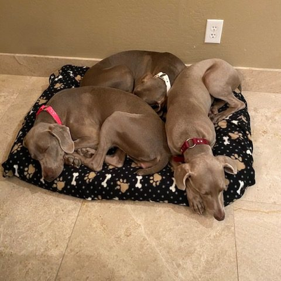 www.barrettweimaraners.com_Barrett Tearin' offtha Two Trax_08_Tearin and her Sisters