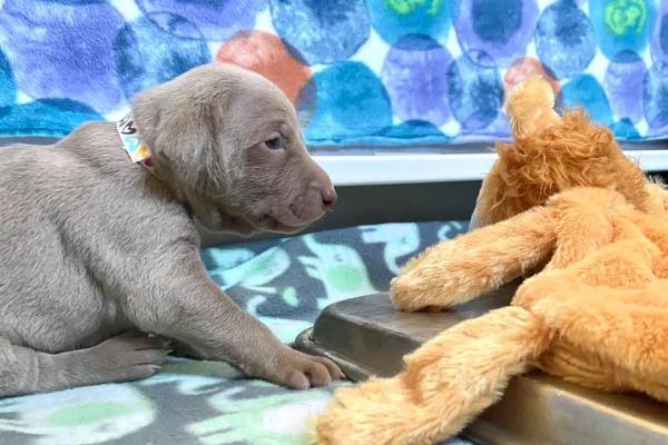 www.barrettweimaraners.com_Boulder-Stella-Puppies_2020-08-30_Day-18_01