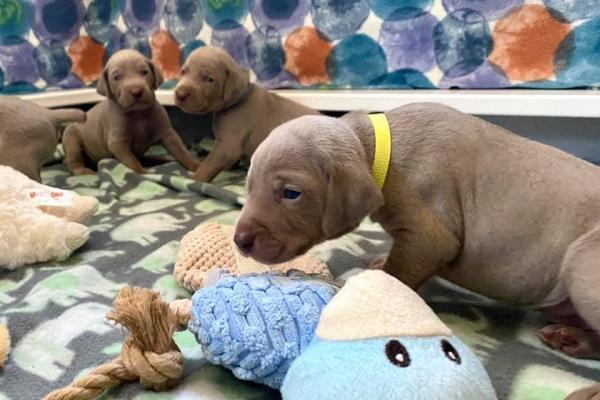 www.barrettweimaraners.com_Boulder-Stella-Puppies_2020-08-30_Day-18_02