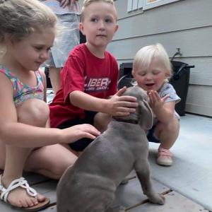 www.barrettweimaraners.com_Boulder-Stella-Puppies_2020-09-13_06