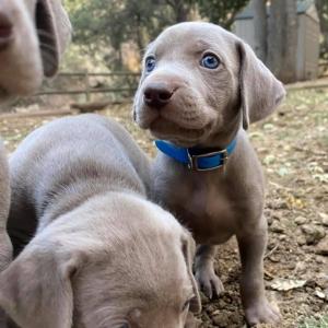 www.barrettweimaraners.com_Boulder-Stella-Puppies_2020-09-15_02