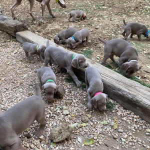 www.barrettweimaraners.com_Boulder-Stella-Puppies_2020-09-15_04