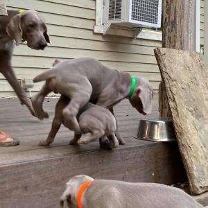 www.barrettweimaraners.com_Boulder-Stella-Puppies_2020-09-15_06