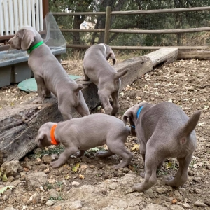 www.barrettweimaraners.com_Boulder-Stella-Puppies_2020-09-15_08
