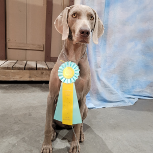 Stevie Nicks Earns her Championship at the Arrowhead Kennel Club Shows