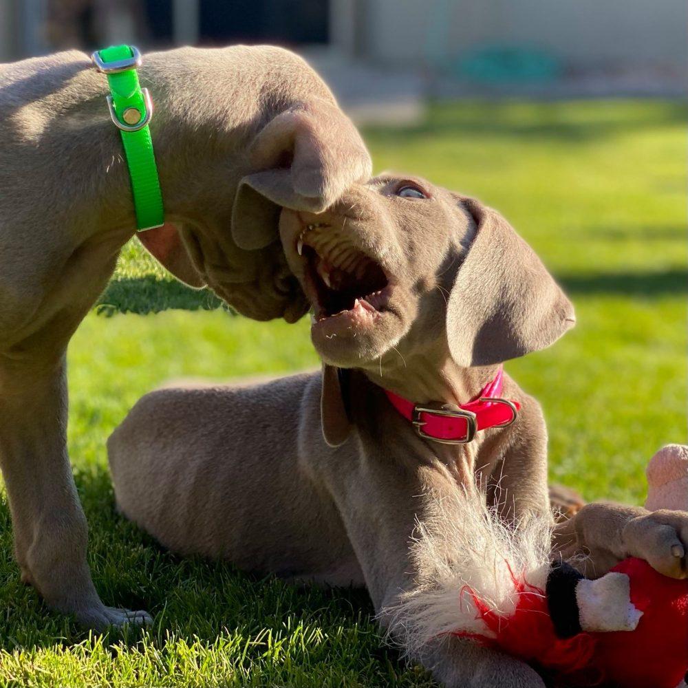 www.barrettweimaraners.com_2021-01-14_Mattie-Puppies_07