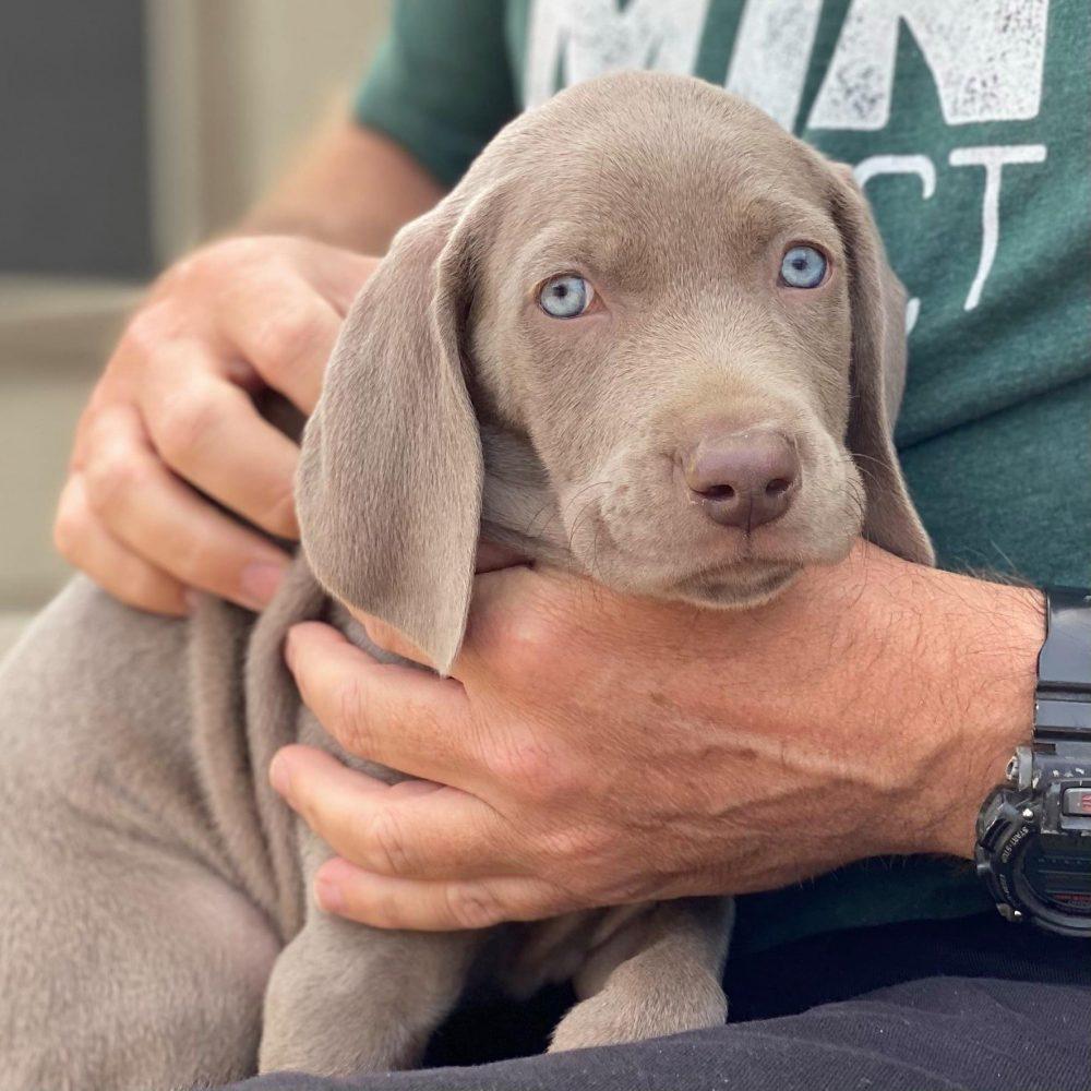 www.barrettweimaraners.com_2021-01-14_Mattie-Puppies_24