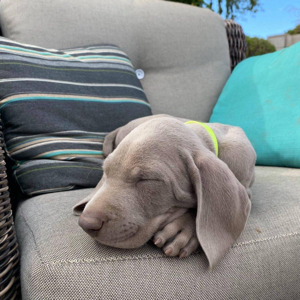 www.barrettweimaraners.com_2021-01-14_Mattie-Puppies_25