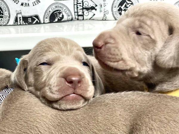 www.barrettweimaraners.com_Ruby-Puppies_2021-03-14_01