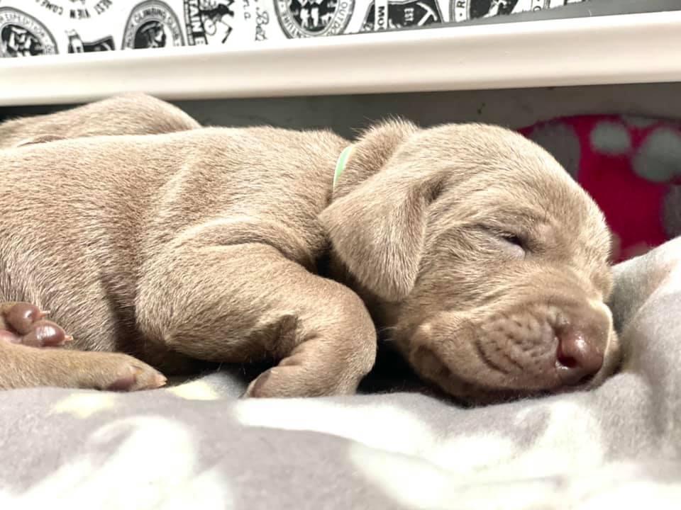 www.barrettweimaraners.com_Ruby-Puppies_2021-03-14_09