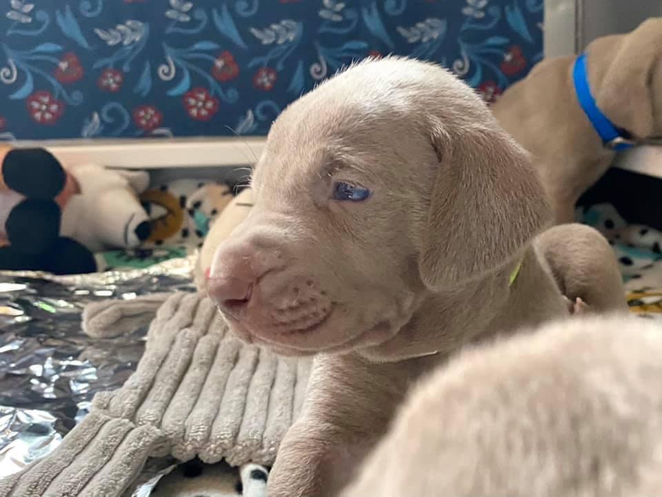 www.barrettweimaraners.com_Ruby-Puppies_2021-03-21_02