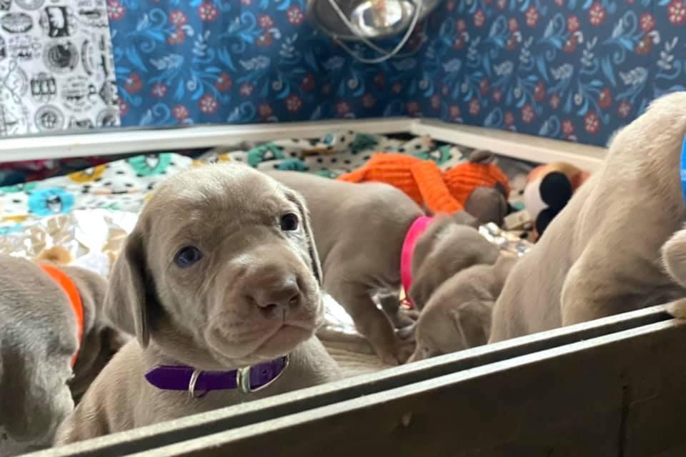 www.barrettweimaraners.com_Ruby-Puppies_2021-03-21_04