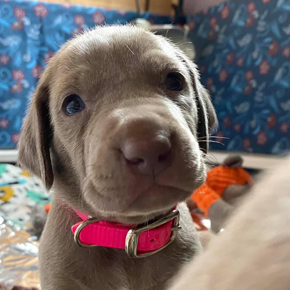 www.barrettweimaraners.com_Ruby-Puppies_2021-03-21_05