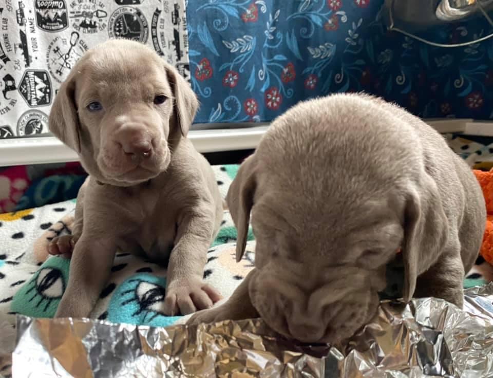 www.barrettweimaraners.com_Ruby-Puppies_2021-03-21_09